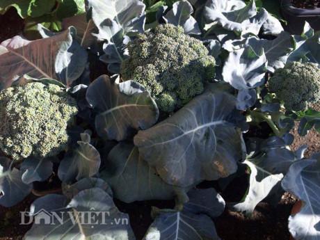 Ngăm nhìn vườn rau sạch chỉ vẻn vẹn 5m2 của nàng dâu Việt tại Nhật
