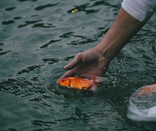 phong tục phóng sinh thả cá chép